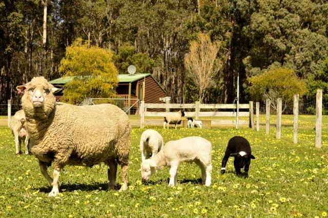 Friendly Farm Animals at Manjimup Farm Stay