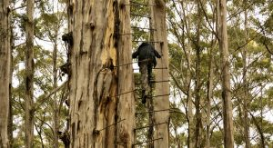 Southern Forests Western Australia Climbing Trees